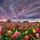tulipanfold-6