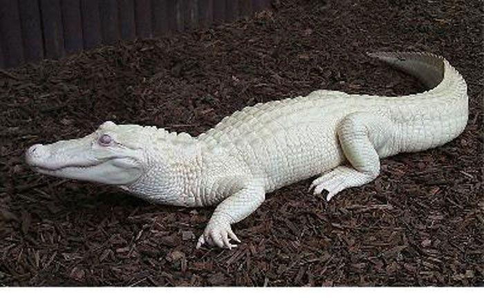 albino-allatok-018
