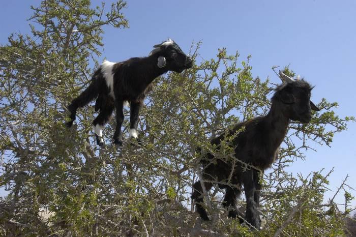 Argane tree-climbing goats