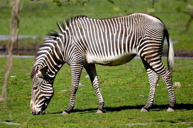 zebroid-1